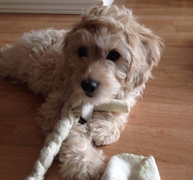 My cockapoo, Bernie, as a puppy